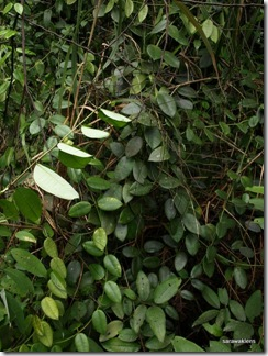 Other_plants_Gunung_Kanyi_11