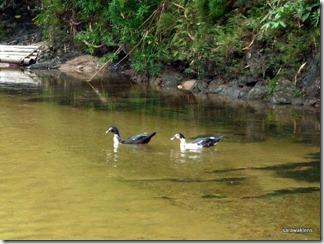 ducks_in_river
