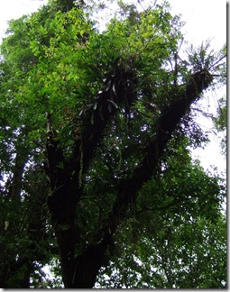 Coelogyne_foerstermannii_orchids_on_tree
