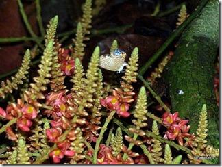 Jungle_liana_flowers_Borneo_6