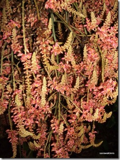 Jungle_liana_flowers_Borneo_7
