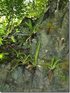 Paphiopedilum_stonei_in_natural_habitat_091120_06