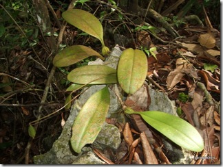 Bulbophyllum_sp_3