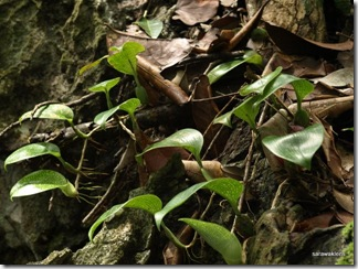 Bulbophyllum_reticulatum_7