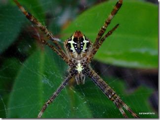 Spider_Bung_Jagoi_2