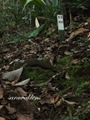 Teluk_Limau_trail_Bako_National_Park_30