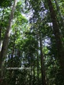 Teluk_Limau_trail_Bako_National_Park_52