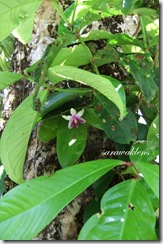 Phalaenopsis_bellina_on_tree