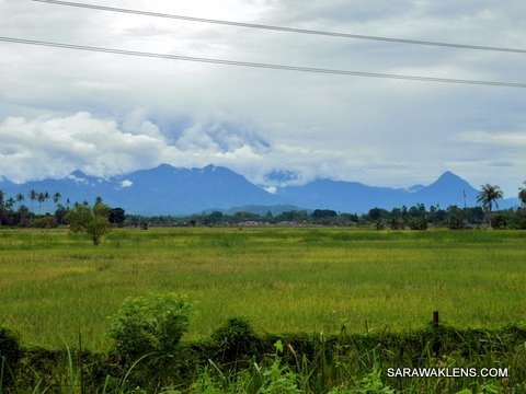 rice_field_padi_sabah2