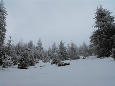 Cozia. Padure de brazi iarna