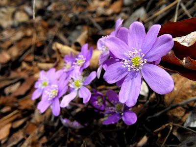 Muntii Mehedinti. Cascada Roset(Cociului).Flori de primavara. Crucea Voinicului sau Popalnic iepuresc