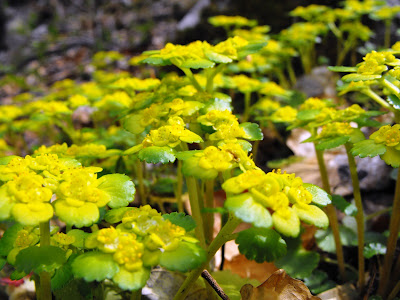 Muntii Mehedinti. Cascada Roset(Cociului). Flori de primavara