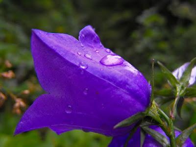 Bucegi - Cheile Zanoagei (Valea Ialomitei) Clopotel - floare de munte