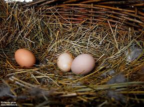 oul sau gaina. Eggs
