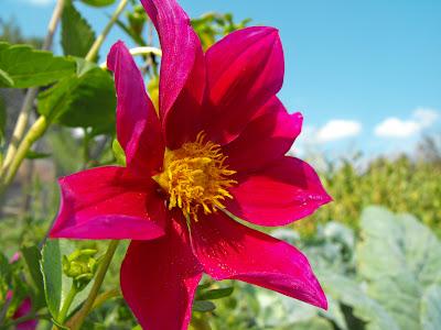 floare de gradina, dalie