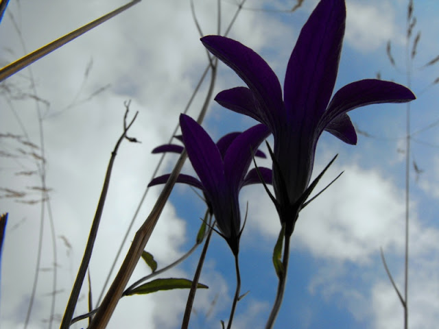 Fagaras - Gentiene - Flori de munte