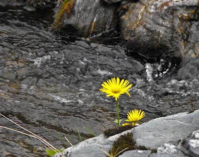 Fagaras. Floare galbena pe rau