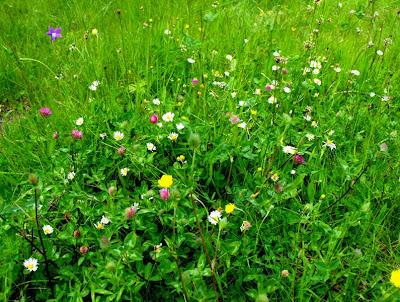 cele mai frumoase flori: flori de munte, flori de camp...