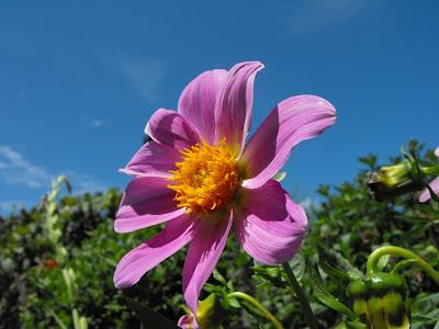 Tehomir. Flori fin gradina mamei