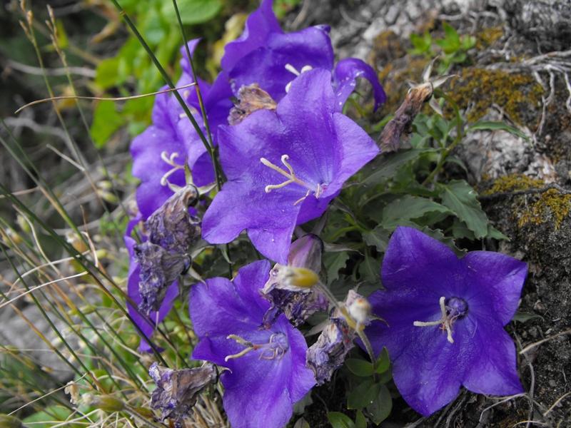 clopoţei. flori de munte