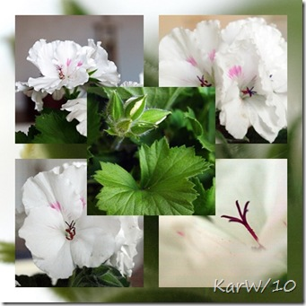 engelskpelargoncollage