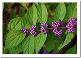 Beautyberry Callicarpa dichotoma'Early Amethyst' (Purole Beautyberry)Wikipedia