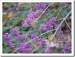 Bodiniers Beautyberry Mer anpassadför europaskallaklimat.Bliuppt3mhög.Wikipedia