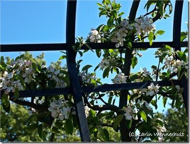 ÄppelblomportalnärbildSofiero1