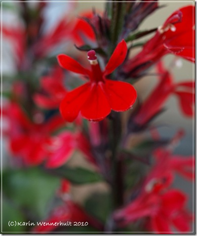 Röd Lobeliadans