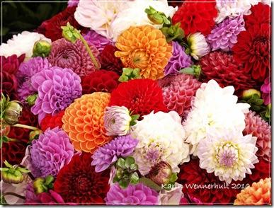 Blandade färger dahlior