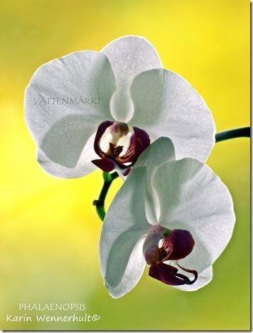 OrkidéeVITlat2VTNMÄRKE