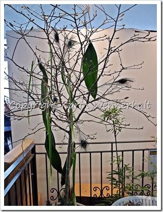 Påfågfjädrisälgbuske