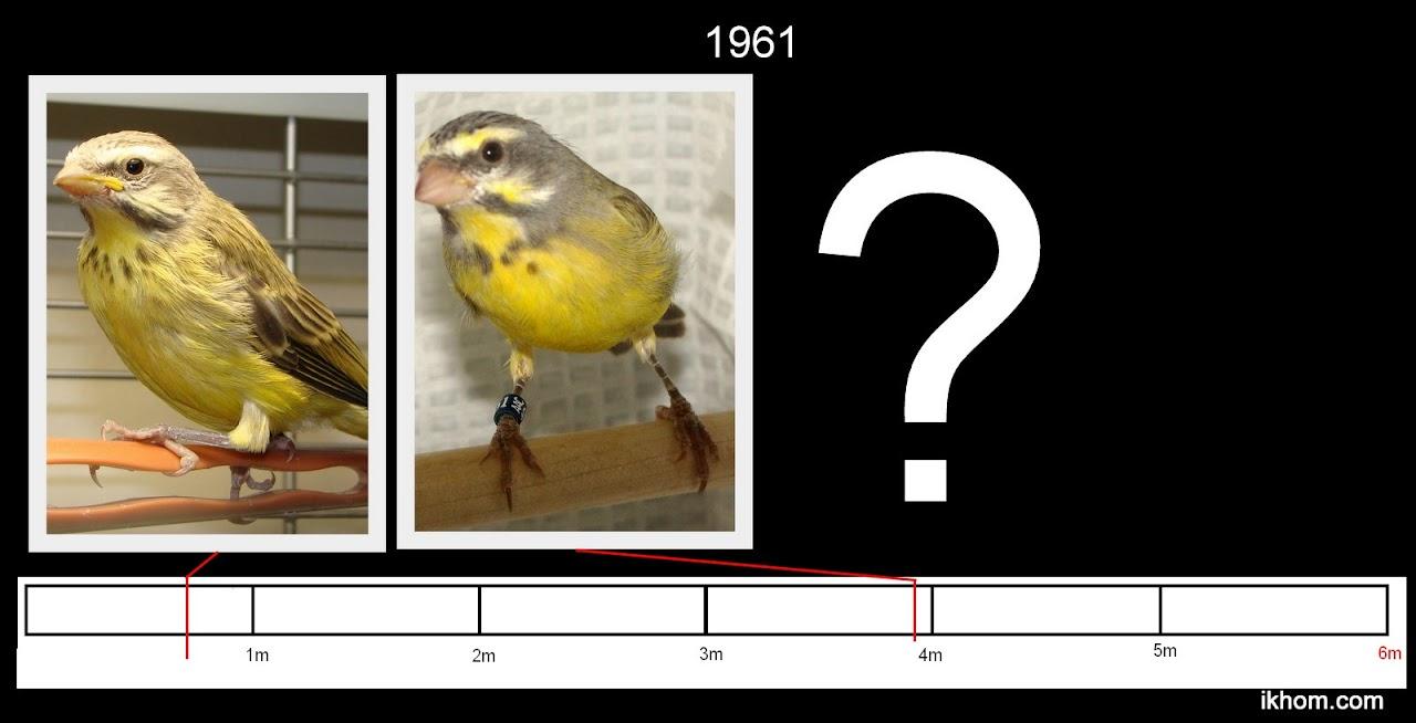 Finchforum view topic breeding the green singing finch