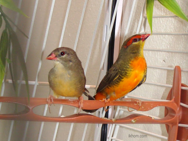 Gold breasted finches