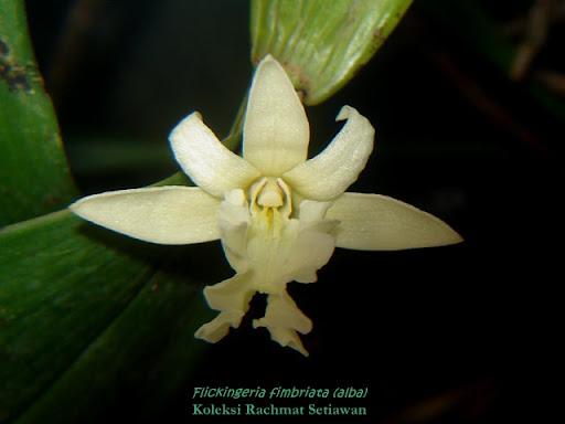 Anggrek Flickingeria godean.web.id