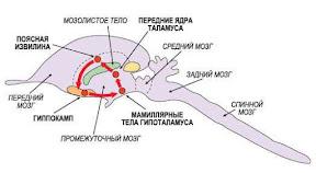 заикание и лимбическая система