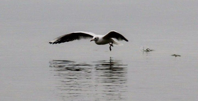 Flying seagull at Chiemsee