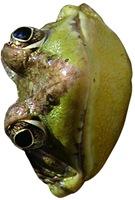 frog-mask