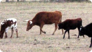 cows-2