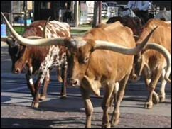 stockyard-station-cattle-4