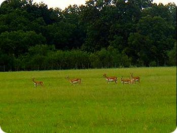 deer-with-antelope