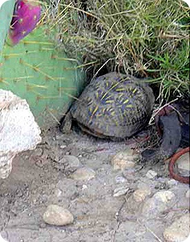 The-Wedge-turtle