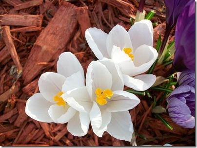 spring flowers 2010 016