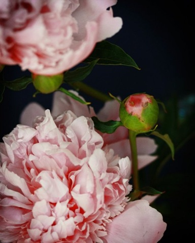 kari herer peonies