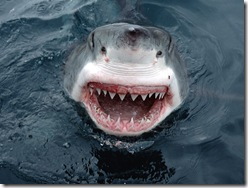white-shark-face