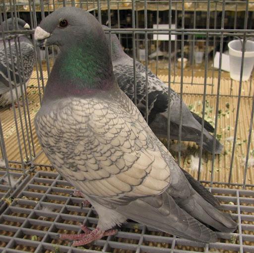 Выставочные гонные голуби