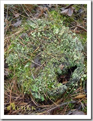 Цікавий мох, я б назвав сурмоподібний.