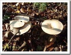 Гарний великий гриб білого кольору (їсти не ризикнув).
