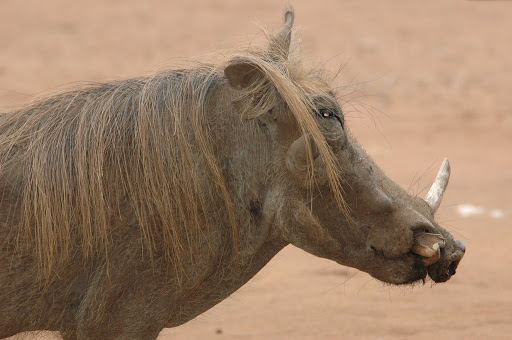 common warthog. common warthog. common