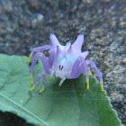 Aranha-flor